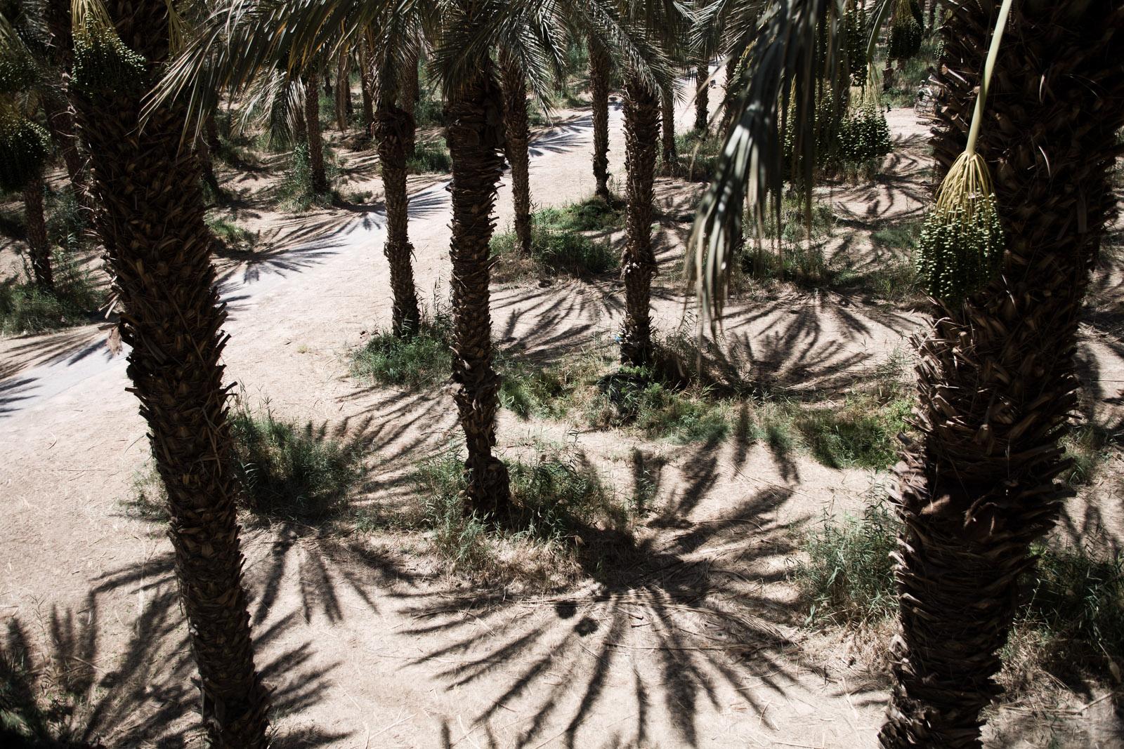 Dans la plantation de palmiers-dattiers.