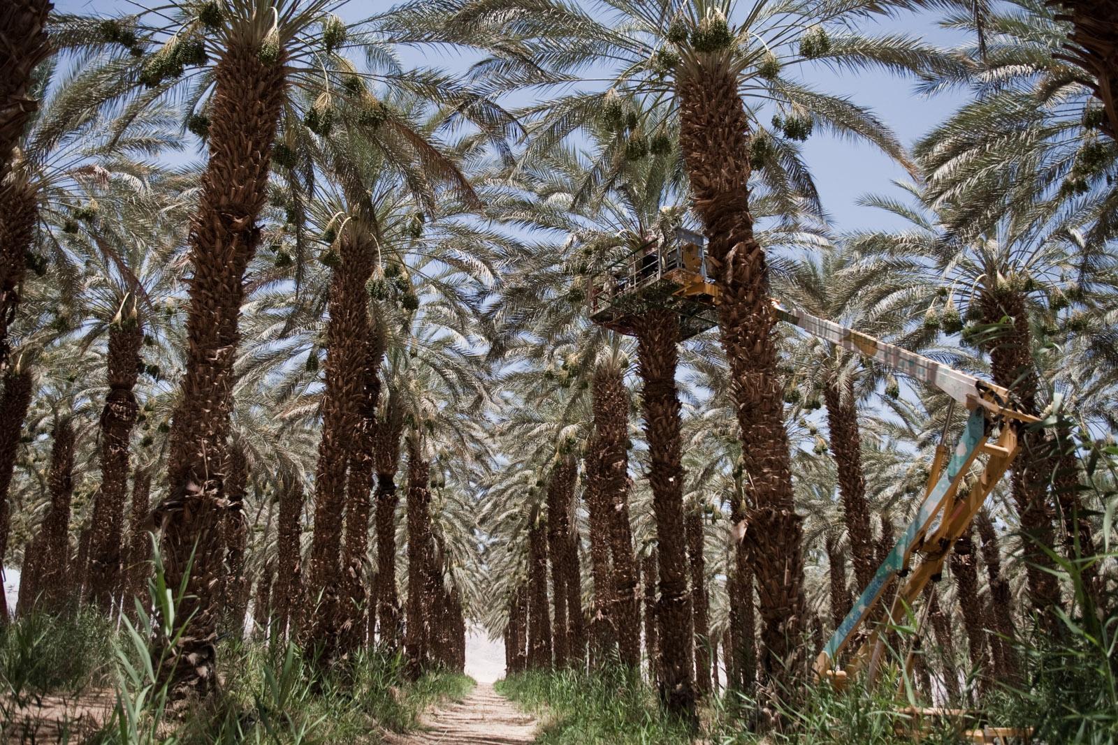 Les plantations de palmiers-dattiers, entièrement bios.