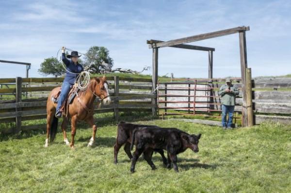 Diane Bohna est en train de capturer des veaux au lasso, comme dans les films !  ©Eugénie Baccot
