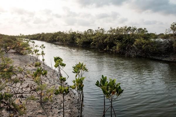 Différents types de palétuviers ont été replantés ces trois dernières années, dans la lagune quasi asséchée par l'élevage intensif autour du village de Keerimattawa-Kudirippuwa ©Juliette Robert/Haytham/Youpress