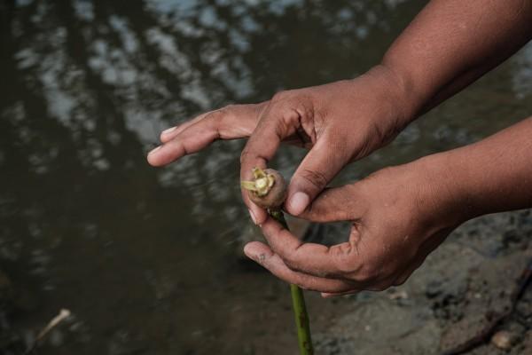 Inoka Perrera, 43 ans, montre un bouton de paletuvier, pres de son village de Welihena ©Juliette Robert/Haytham/Youpress